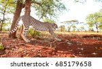 cheetah stretching on soft red... | Shutterstock . vector #685179658