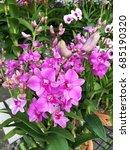 thai orchid   Shutterstock . vector #685190320