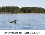 Loon Slowly Floating On The...