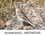 threatened grasshopper sparrow  ... | Shutterstock . vector #685340140