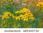 tansy .tansy flower on green... | Shutterstock . vector #685343710