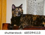 Small photo of Cute tortoiseshell female cat elongated and playful