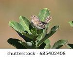 Small photo of Threatened Grasshopper Sparrow (Ammodramus savannarum) on milkweed