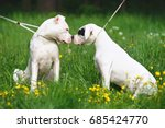 two dogo argentino dogs sitting ... | Shutterstock . vector #685424770