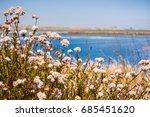 California Buckwheat  Eriogonum ...