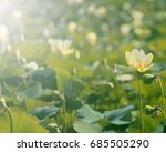 Small photo of American Lotus flower