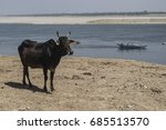 Holy Cow Beside The Ganges...