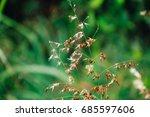 grass flowers  poaceae  on a... | Shutterstock . vector #685597606