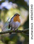 european robin  erithacus... | Shutterstock . vector #685605340
