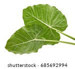 colocasia leaf  large green... | Shutterstock . vector #685692994