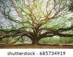 Big Tree To Sprawl Samanea...