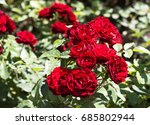 Best Bushes Of Rose At My Garden