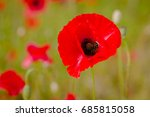 flowers red poppies blossom on...   Shutterstock . vector #685815058