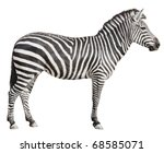 Plain Burchell's Zebra female standing side view on white background - stock photo