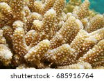 Small photo of Close-up of finger coral, Acropora humilis, underwater in the lagoon of Bora Bora, south Pacific ocean, French Polynesia