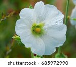 Small photo of white Alcea hollyhock flower in bloom in early spring