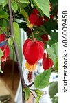 Small photo of Flowering maple (abutilon megapotamicum)