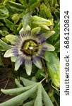 Small photo of Closeup of passiflora flower