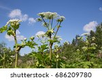 giant hogweed inflorescences on ... | Shutterstock . vector #686209780