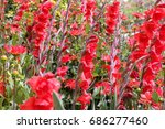 gladiolus red summer flower. ... | Shutterstock . vector #686277460