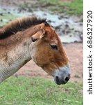 Small photo of Profile of the Turkmenian kulan (Equus hemionus kulan), also called Transcaspian wild ass, Turkmenistani onager or simply the kulan.