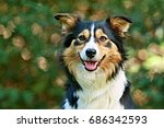 Border collie looking happy
