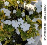 Small photo of White Vinca (Periwinkle) flowers