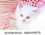 White Persian Kittens Hi Key...