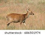 male barasingha or swamp deer ... | Shutterstock . vector #686501974