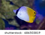 auriga butterflyfish  chaetodon ...   Shutterstock . vector #686503819
