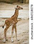 Little Giraffe.