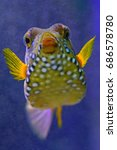 Small photo of Underwater view of a spotted yellow boxfish (Ostracion Cubicus)
