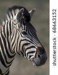 portrait of burchells zebra ... | Shutterstock . vector #68663152