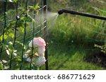 spraying rose shrub against...   Shutterstock . vector #686771629