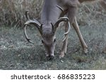 A 10pt Whitetail Buck With Head ...