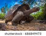 Stock photo ecuador galapagos islands galapagos tortoise stands on legs 686849473