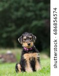 Small photo of Airedale puppy