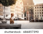 Stock photo nova scotia duck tolling retriever dog in the city dog on the background of architecture 686857390