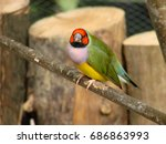 the gouldian finch or erythrura ... | Shutterstock . vector #686863993