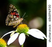 Small photo of American painted lady butterfly (Vanessa virginiensis) feeding on a white cone flower in the garden.