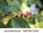 Small photo of Amelanchier ovalis tasty ripening fruits berries