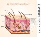human body skin anatomy vector... | Shutterstock .eps vector #687076219
