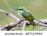 beautiful bird  juvenile of... | Shutterstock . vector #687114964