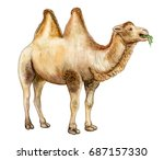 bactrian camel isolated on... | Shutterstock . vector #687157330