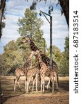 giraffe eating.   Shutterstock . vector #687183514