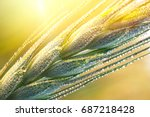 drops of dew on a young wheat... | Shutterstock . vector #687218428