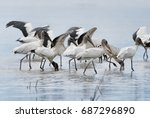 Wood Storks With Wings Extended