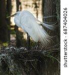 Great Egret Hen Stands Over...