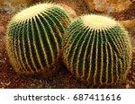 Golden Barrel Cactus Or...