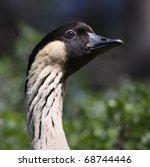Close-up view of a Hawaiian Goose 01 - stock photo